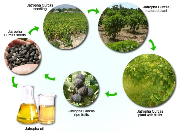 Jatropha Lifecycle